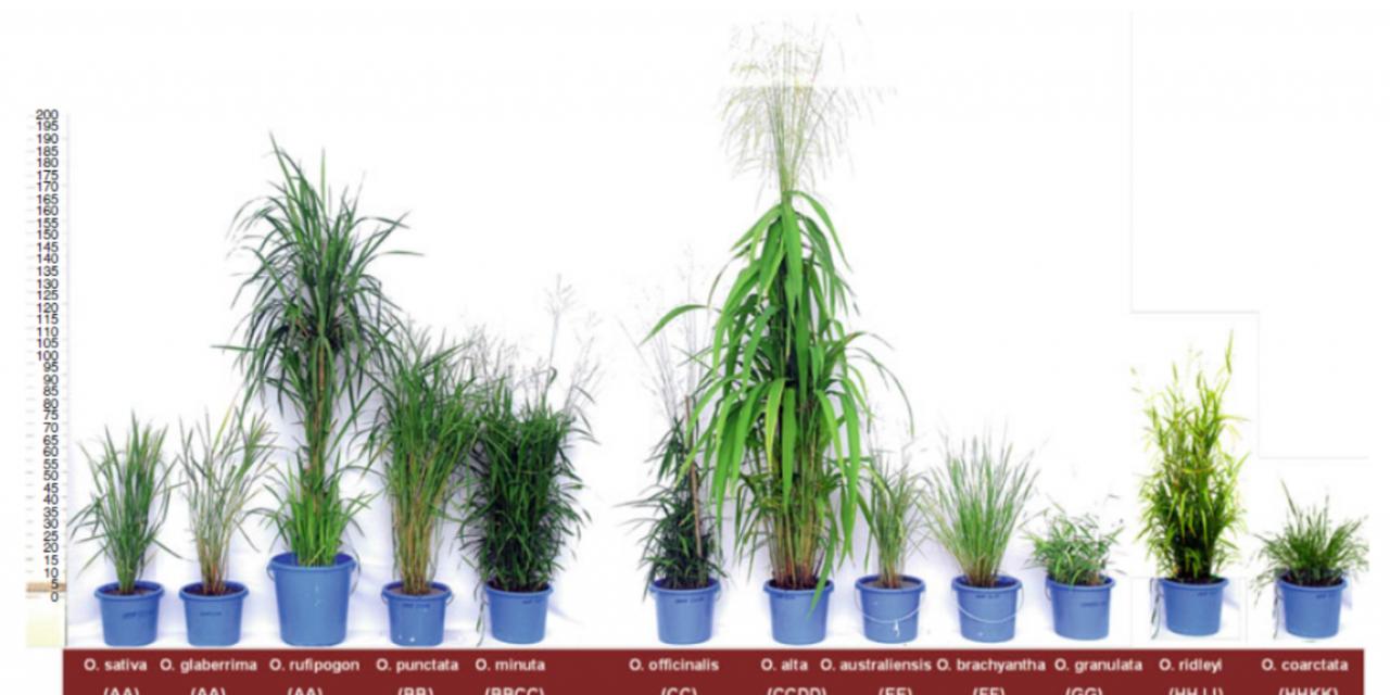 【專欄】水稻基因體研究新里程碑