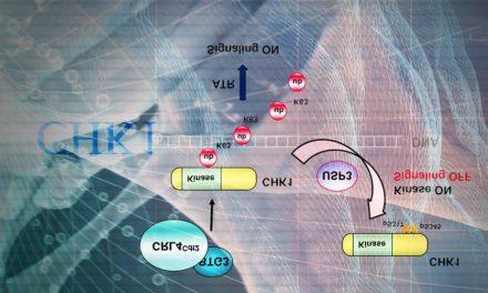 揭開細胞週期管控激酶CHK1的調控之謎