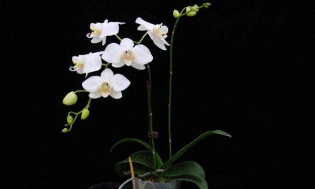 畫出蘭花遺傳圖譜! 臺灣阿嬤蝴蝶蘭全基因體解序 邁向精準分子育種