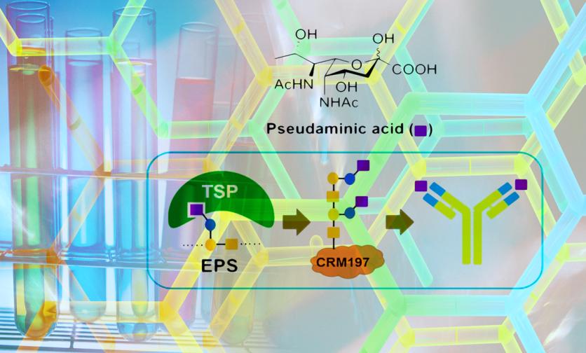 發現Pseudaminic acid單醣的重要性:製造強抗原性的醣複合疫苗