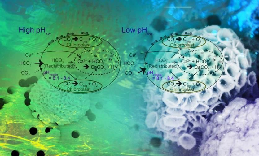 發現海洋酸化對鈣板藻Ochrosphaera neapolitana之影響