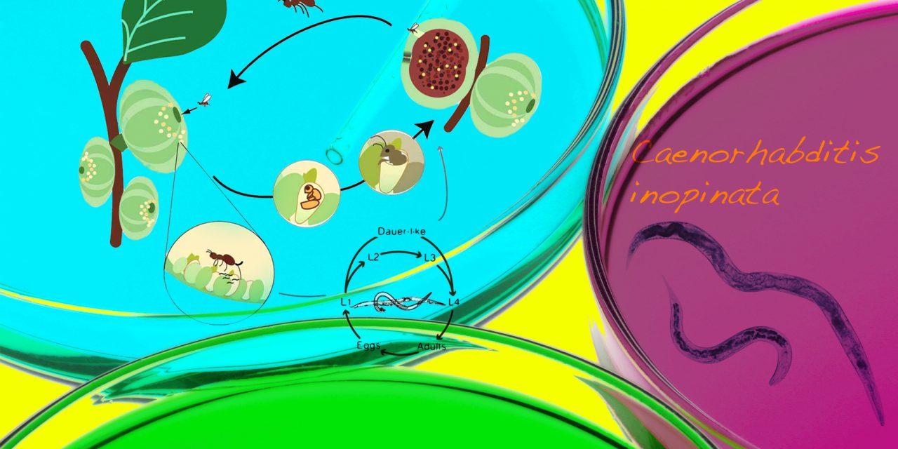 解開線蟲模式物種身世之謎!發現秀麗隱桿線蟲的近緣種