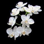 臺灣原生白花蝴蝶蘭基因體的解序以及對蘭花產業的展望