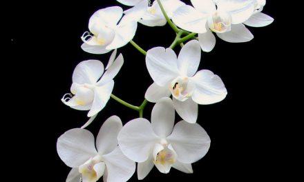 【專欄】臺灣原生白花蝴蝶蘭基因體的解序以及對蘭花產業的展望