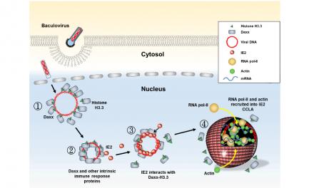 病毒可在細胞核內形成奈米微型胞器,增強基因表現