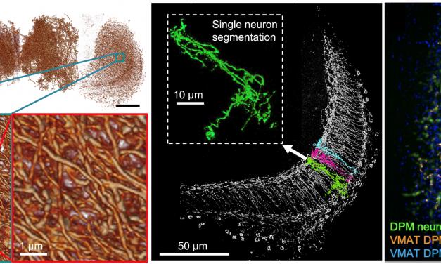透視全腦!超解析三維光學顯微技術 可望更瞭解記憶機制