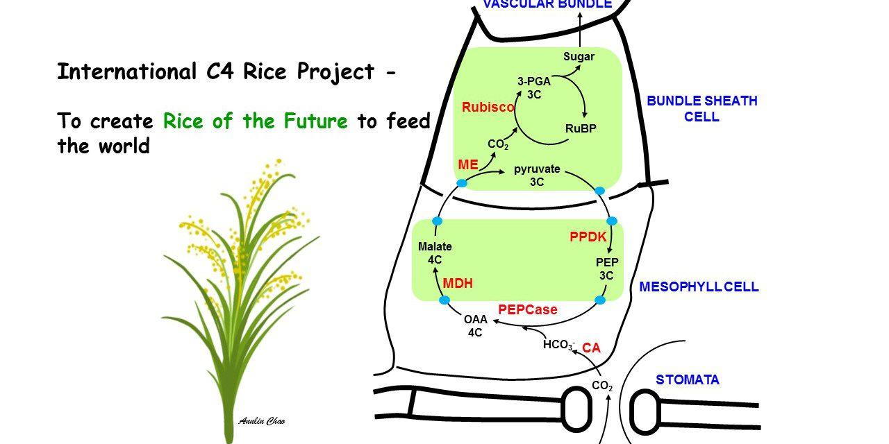 本院積極參與國際C4水稻研究第四期計畫