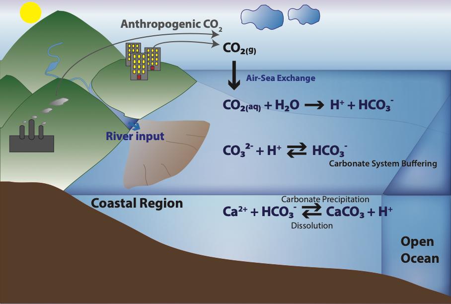 面對海洋酸化,海洋造殼生物體內如何調節因應?