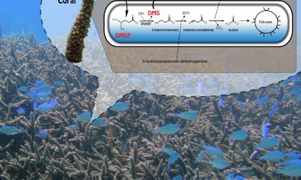 珊瑚優勢菌 Endoziocomonas acroporae 可產生氣候冷化氣體二甲基硫