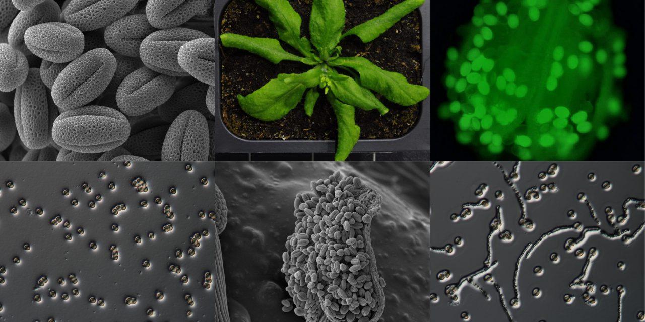 精卵相遇差最後一哩?研究發現花粉受孕關鍵脂質的來源