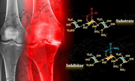 發掘三醣體可抑制硫酸酯內切酶 解退化性關節炎初始機轉之謎