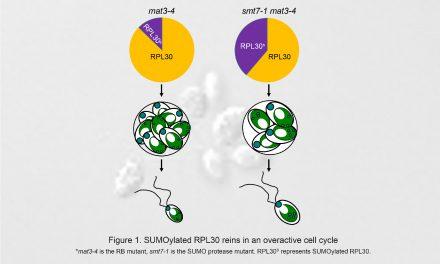 研究綠藻細胞大小的調控可以告訴你細胞分裂不正常的秘密!