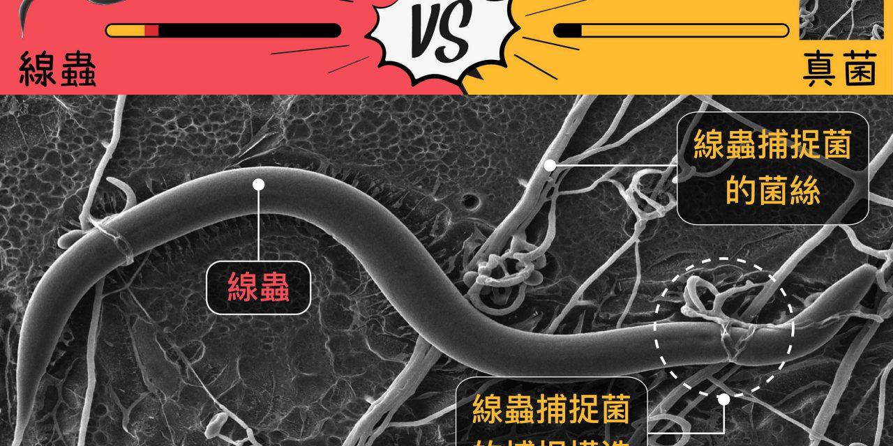看真菌如何獵殺線蟲,開啟寄生蟲治療藥物新曙光!