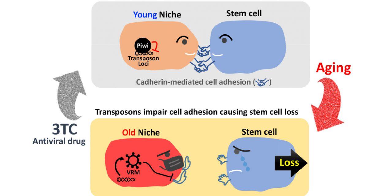 幹細胞也懂得維持社交距離! 老化活化內生性反轉錄病毒導致幹細胞流失