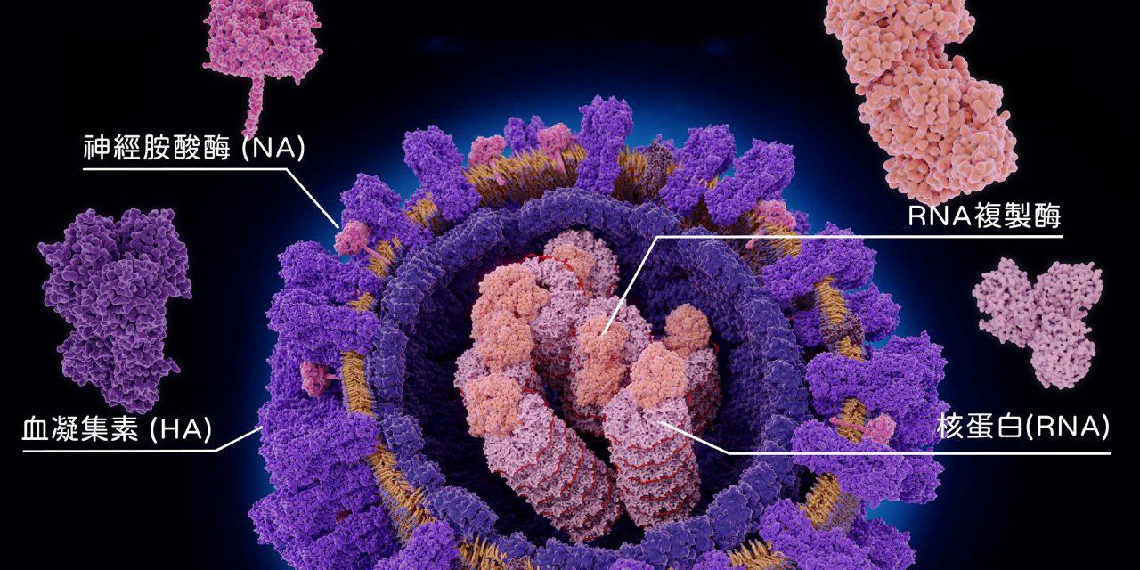 未來流感疫苗不用年年打?可對抗異株病毒的單醣化疫苗