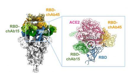 新冠病毒Alpha突變株如何增強傳播能力及逃避免疫系統辨識的分子機制