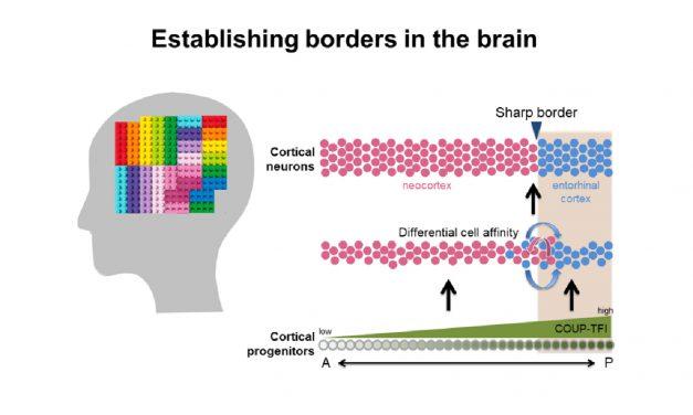 大腦如何分區、建立邊界?發現轉錄因子COUP-TFI主導關鍵機制