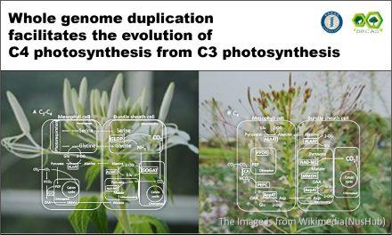 全基因體複製促進C3光合作用 到C4光合作用的演化